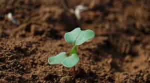 Азот і сірка - одні з головних елементів при вирощуванні озимого ріпаку!